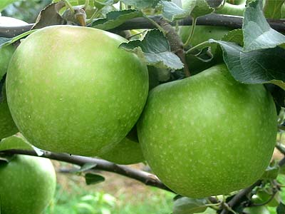 Jabloň ´Granny Smith´