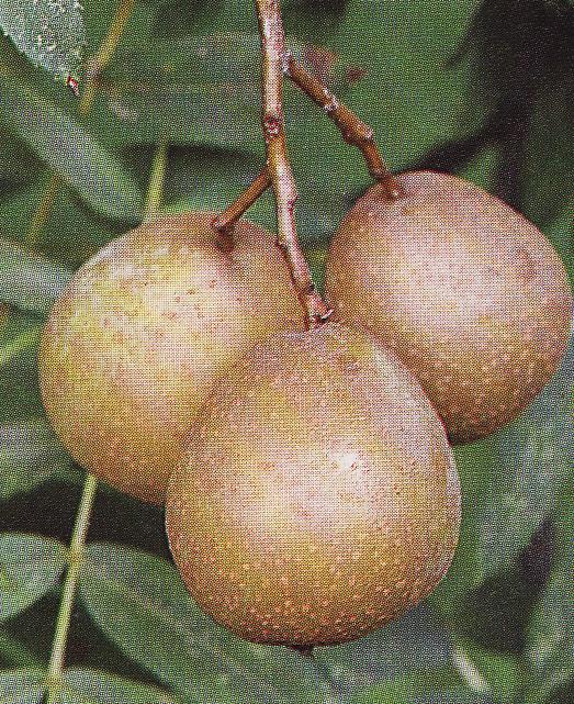 Okrasné a ovocné dreviny / ovocné kríky a stromy