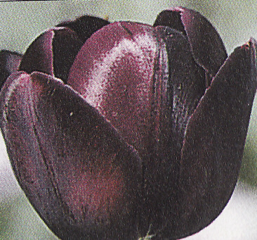 Tulipán ´Queen of Night´ 2 ks