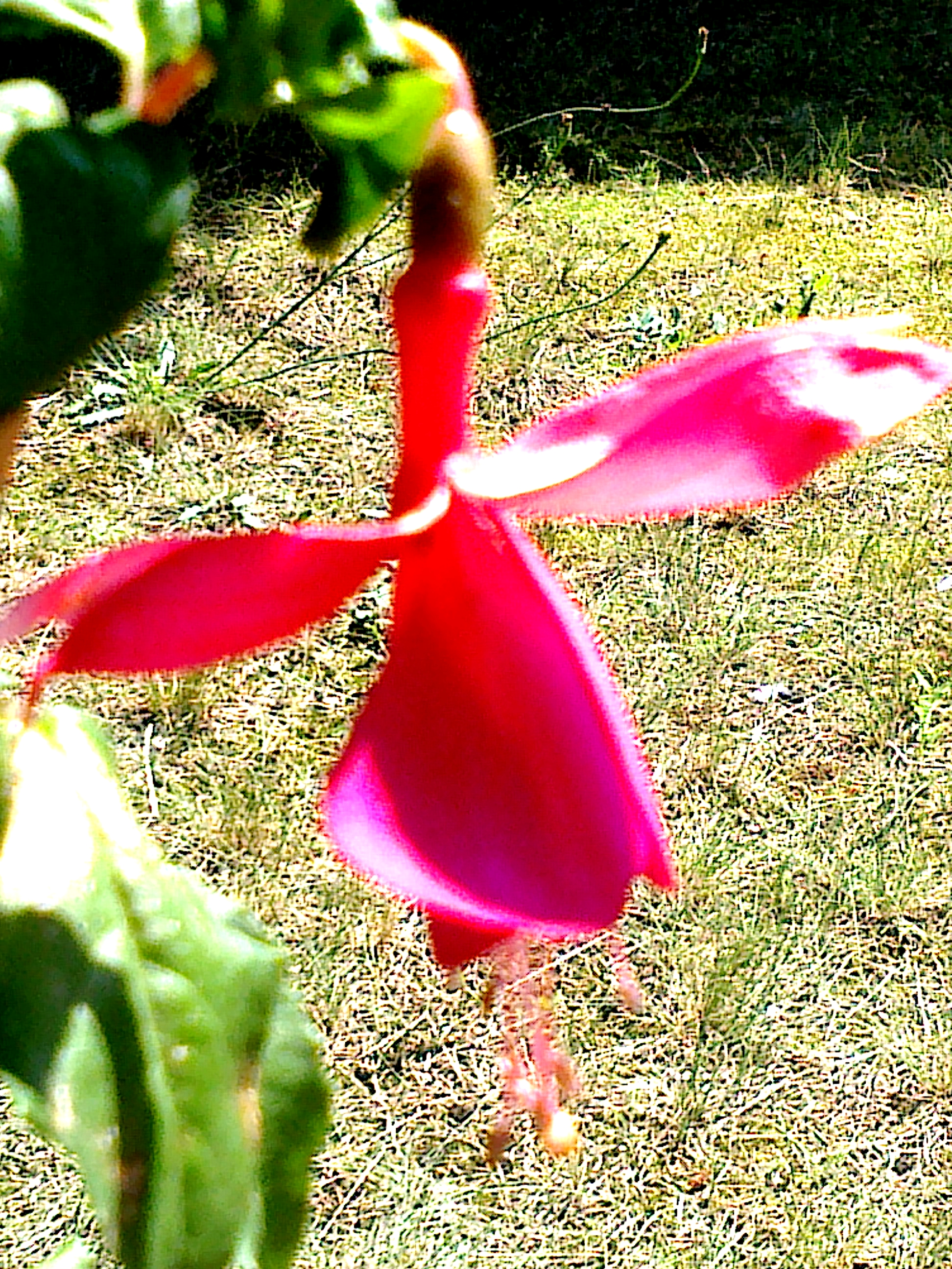 Fuksia ´Red Spider´