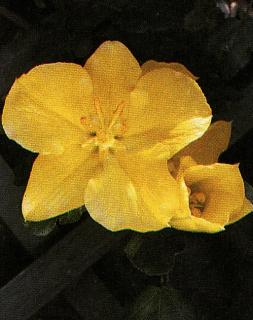 Fremontodendron ´California Glory´