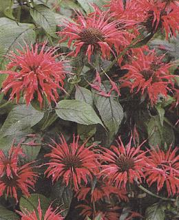 Monarda ´Cambridge Scarlet´
