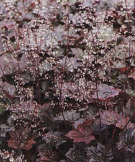 Heuchera ´Palace Purple´
