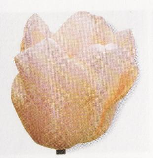 Tulipán ´Apricot Beauty´ 5 ks